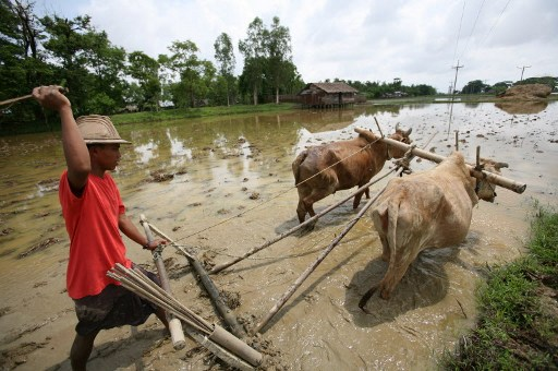 A Burmese farmer ploughs his field to prepare for rice cultivation in Waw, Irrawaddy delta. (PHOTO: AP)