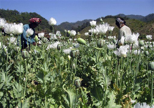 In this 2012 file photo, villagers harvest opium at a field in Shan State. (PHOTO: UNODC)