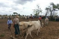 Farmers in Sagaing Division, in central Burma, took to ploughing lands they say were seized by the military. (PHOTO: DVB)