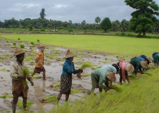 Burma will supply 100,000 tonnes of rice to India, to meet the need for the commodity in the states of Mizoram and Manipur (PHOTO:wikicommons).