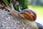 Common snail (Wikipedia)