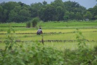 A farmer in a rice paddy, Kalaymyo, Sagaing Division (Photo: WikiCommons/ Thomas Khaipi)