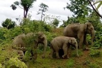 Elephants on parade - but this small herd must be feeling lost and vulnerable, as they attack people who get too close. (PHOTO: DVB)