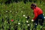 File photo of a farmer tending to her poppy field.