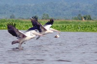Pelicans fly over Indawgyi Lake, Kachin State. (PHOTO:Htet Khaung Linn/Myanmar Now)