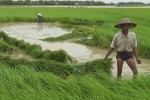 File photo of Burmese farmers harvesting rice. (Photo: DVB)