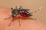 The mosquito Aedes aegypti feeding on a human host. (Photo: Wikicommons)