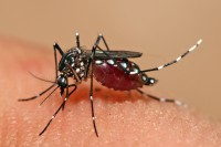 Mosquitoes spread diseases such as dengue fever and malaria. (PHOTO: wikipedia)