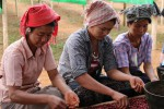 Women sort coffee grown in Burma. (Photo: Daily Coffee News)
