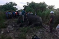 Elephant down - Forestry officials tranquilise a stray elephant wandering near a village in Rangoon Division on 22 October 2016. (PHOTO: DVB)