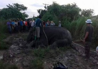 Forestry officials tranquilise a stray elephant wandering near a village in Rangoon Division on 22 October, 2016. (Photo: DVB)