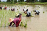 File photo of Thai farmers planting rice. (Photo: Yukihiro Torikai / Wikimedia)