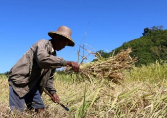 A farmer in Arakan State's Thandwe Township clears his paddy field after the harvest. (Photo: Zarny Win / Myanmar Now)