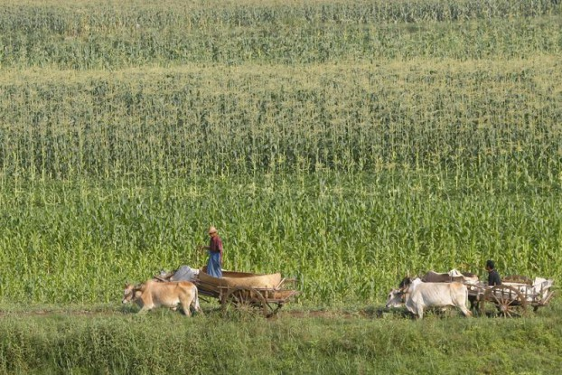 Men travel on ox carts through a cornfield on the banks of the Irrawaddy River outside Mandalay on 4 March 2012. (Photo: Reuters)