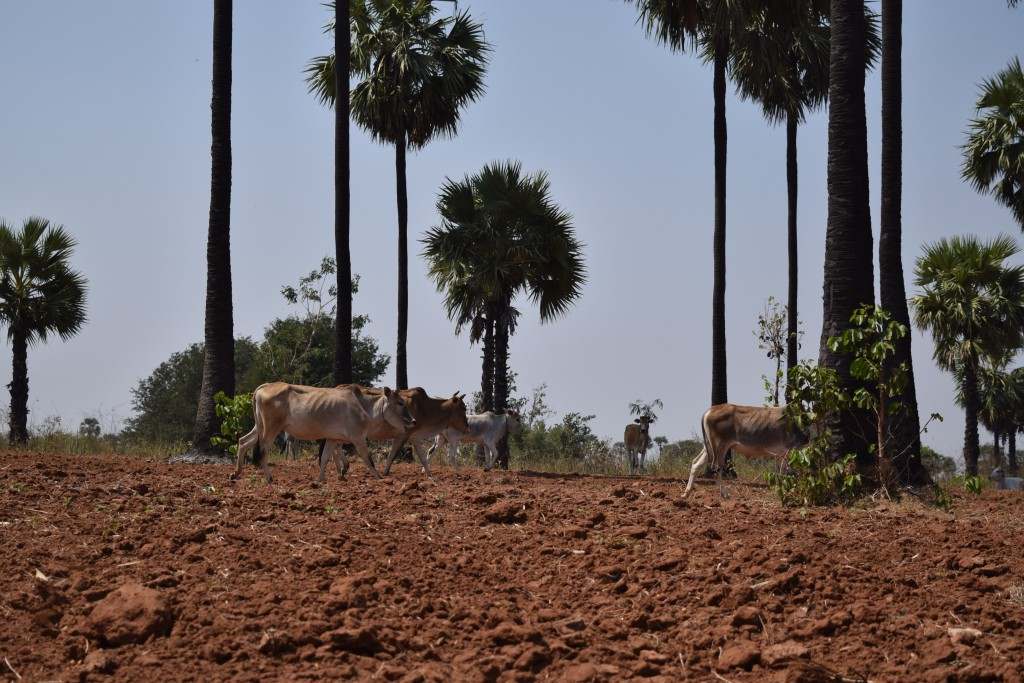 Livestock and farming are the primary sources of income for most families in the Dry Zone. (Photo: Kimberley Phillips)