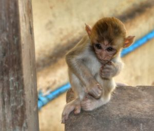 Young monkey at Taung Kalat. (PHOTO: Samantha Hussey)